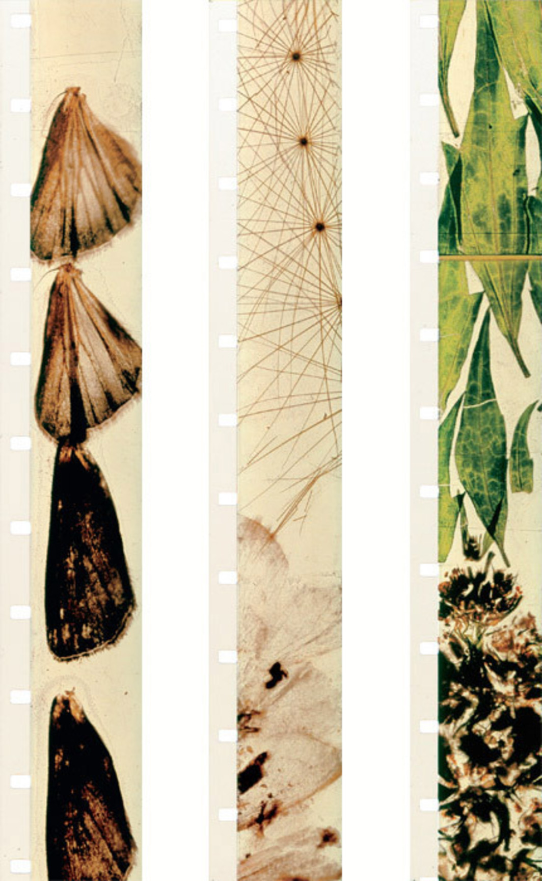 Filmstrips from Stan Brakhage's Mothlight, 1963, 16 mm, color, silent, 3 minutes 13 seconds.
