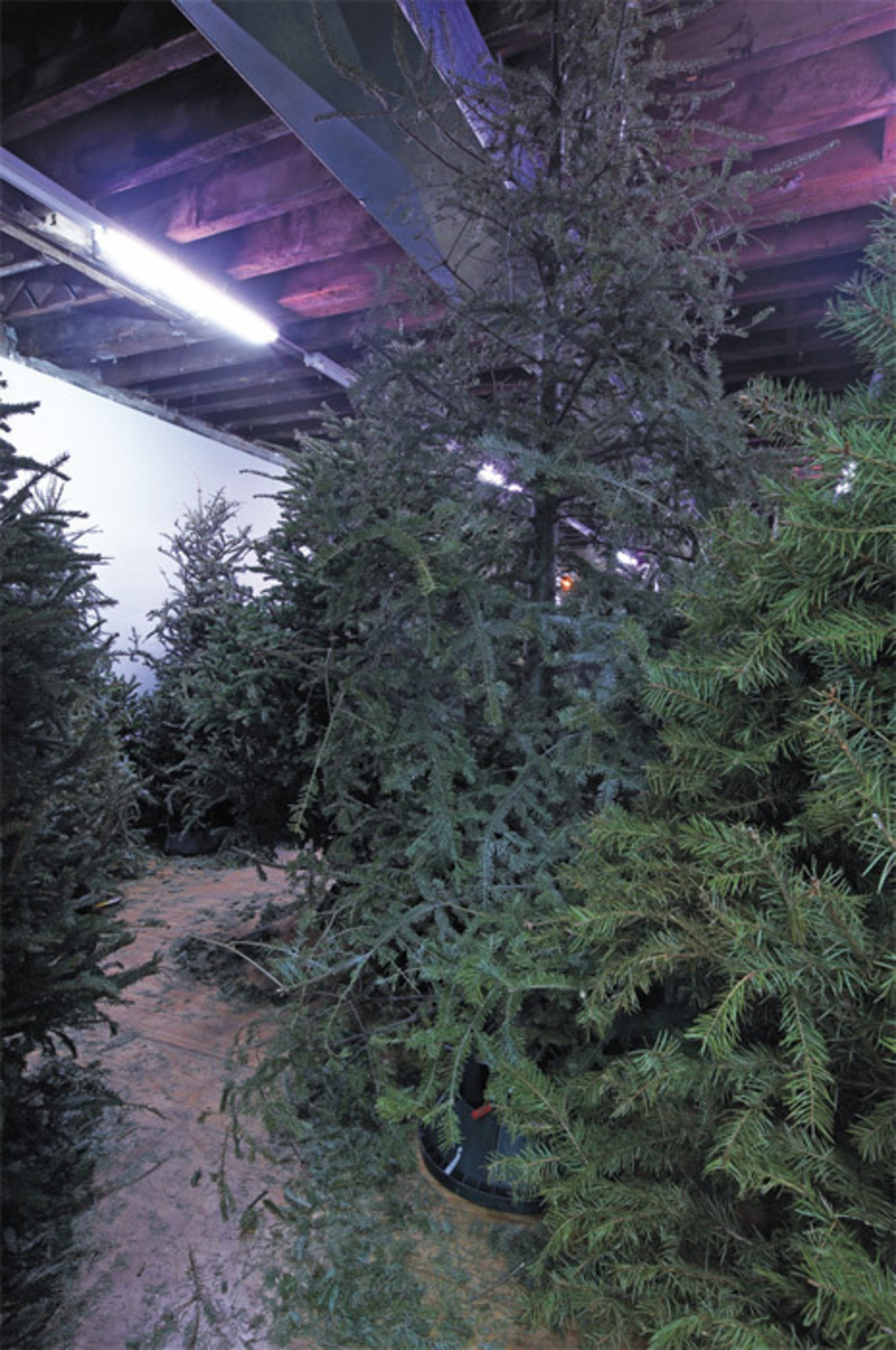 Klara Liden, S.A.D., 2012, found Christmas trees, grow lights, buckets, plywood, safety blue paint, dimensions variable.