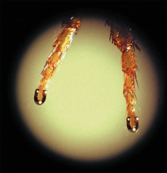 *Magnified image of Nickolai Syadristy's _Shod Flea_, 1959*, showing gold shoes on the feet of a flea.
