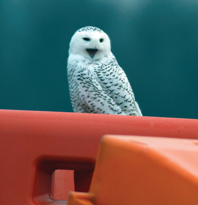 *Snowy owl, Floyd Bennett Field, New York, December 10, 2013.* Photo: Klemens Gasser.