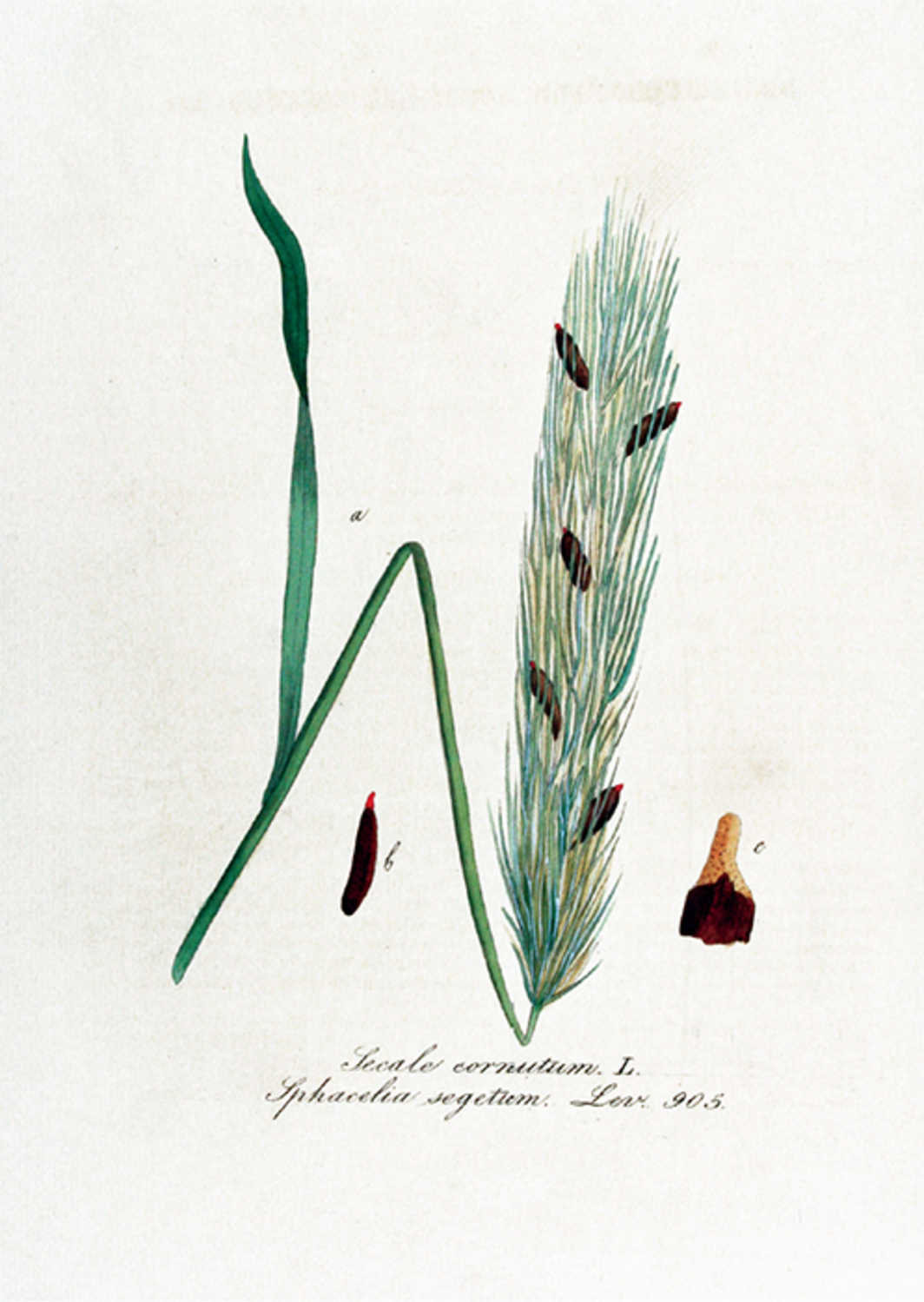 Ergot, as illustrated by Jan Christiaan Sepp in Jan Kops's Flora Batava of Afbeeldingen en Beschrijving van Nederlandsche Gewassen (Pictures and Description of Dutch Crops), 1865.