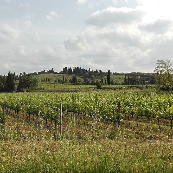 Vineyard in Tuscany.